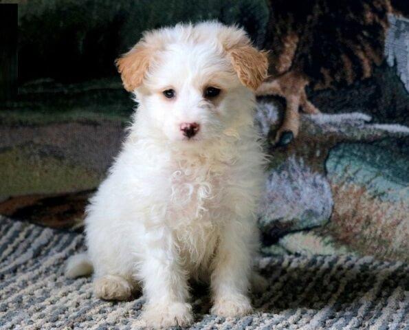eskipoo dog 3