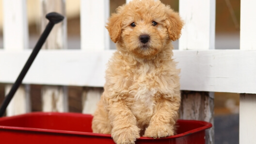 eskipoo dog 5