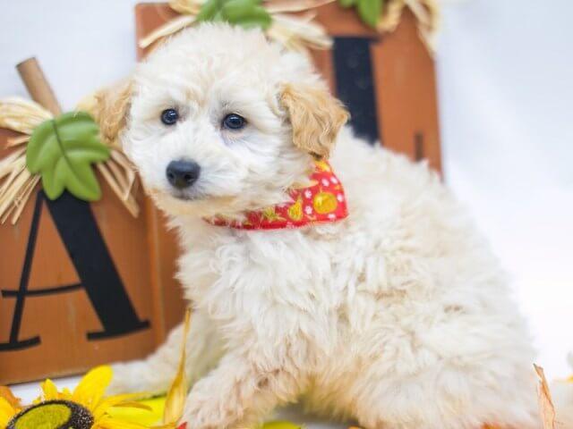 eskipoo dog 7