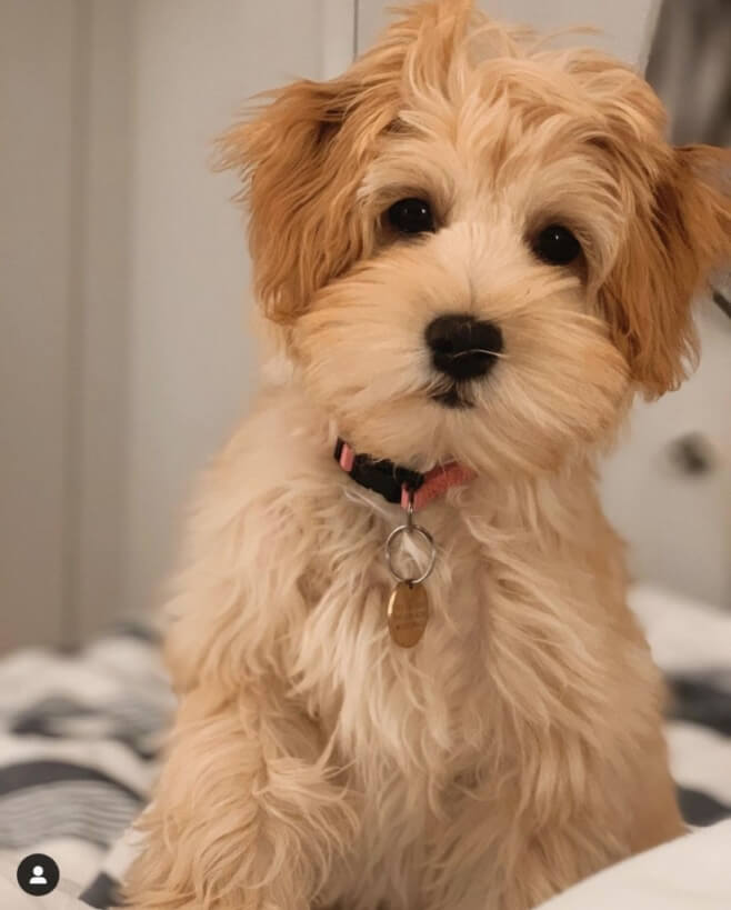 havanese and poodle mix 2