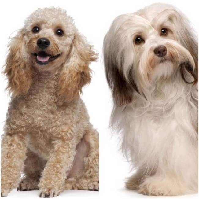 havanese and poodle mix 4