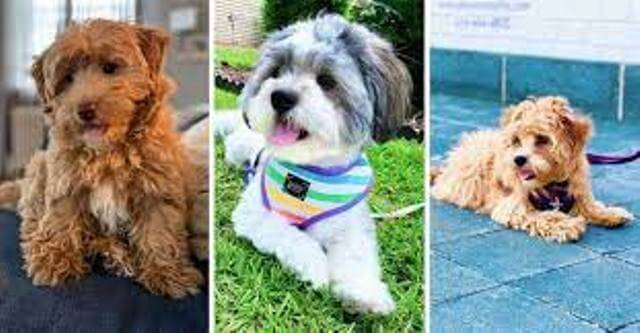 havanese and poodle mix 5