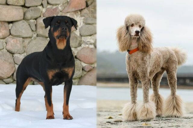 poodle and rottweiler mix 1