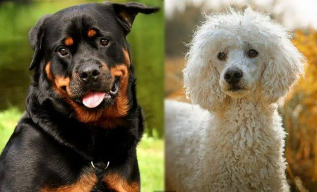 poodle and rottweiler mix 4