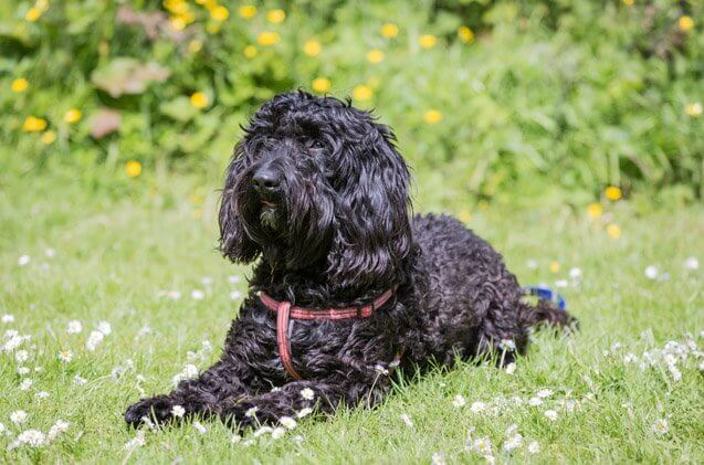 rottle dog 6