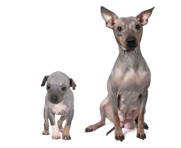 American Hairless Terrier 1
