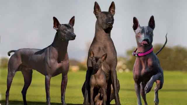 Argentine Pila Hairless Canine 1