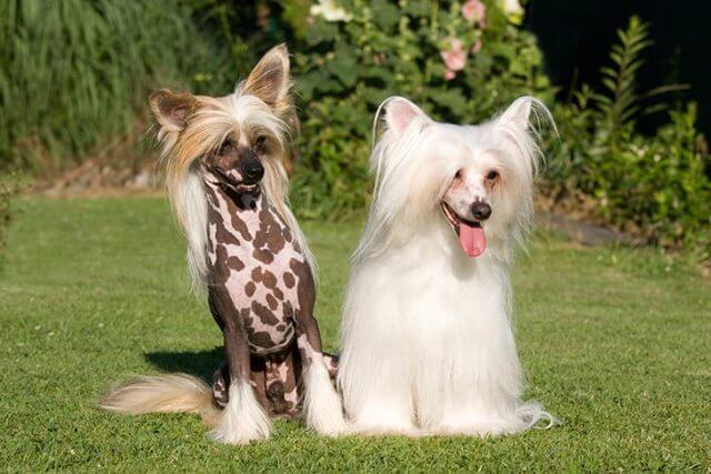 Chinese Cresteds Hairless Dog