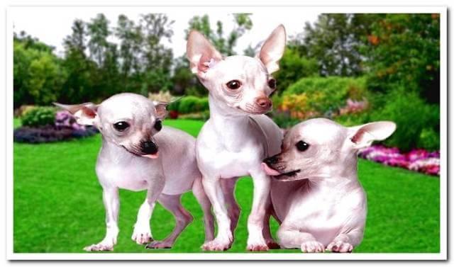 Hairless Chihuahua 1