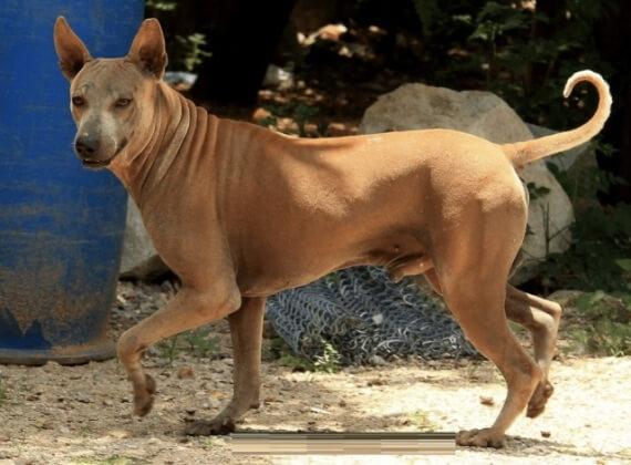Hairless Jonangi Dog Breed