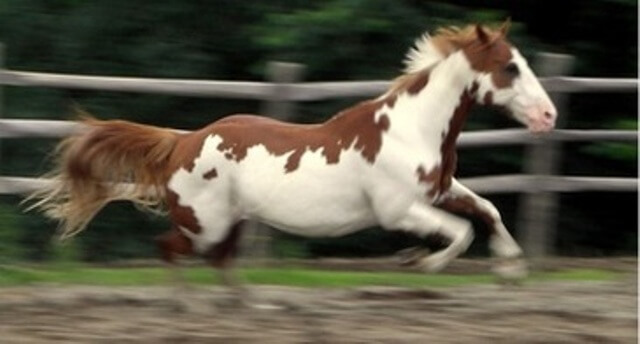 Mustang Horse for Sale 4