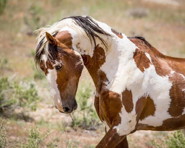 Mustang Horse for Sale 5