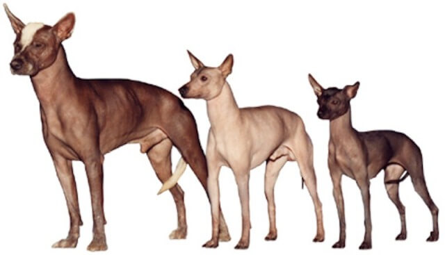 Xoloitzcuintli Hairless Dog 1