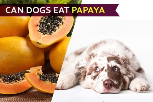 can dogs eat papaya 3