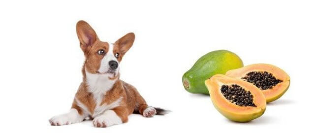 can dogs eat papaya 4