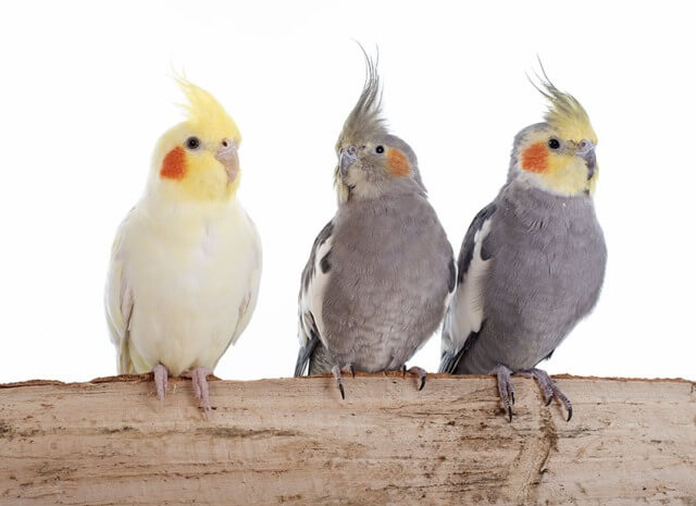 different types of parrots 5