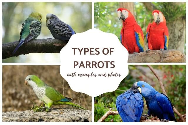 different types of parrots 6