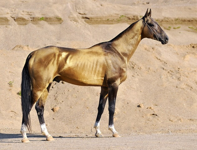 Akhal Teke Horse Price 2