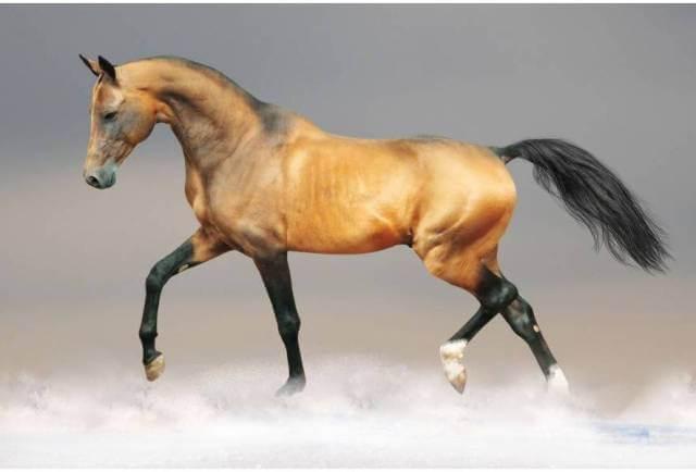 Akhal Teke Horse Price 3