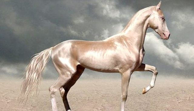 Akhal-Teke Horse Cost 7