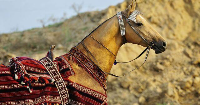 Akhal Teke Horse Price 1