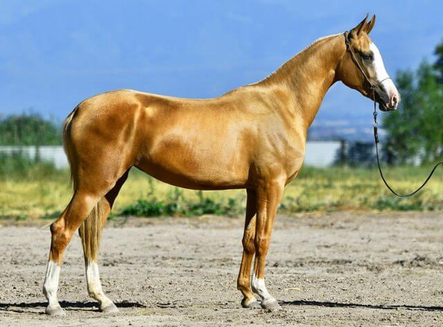 Akhal Teke Horse Price 4