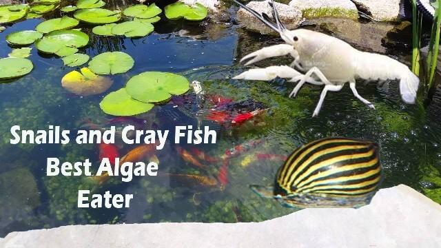 Algae Eater Pond Fish 1