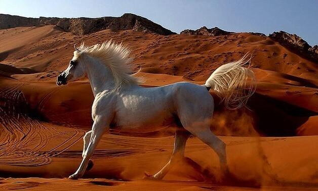 Arabian Horse price 11