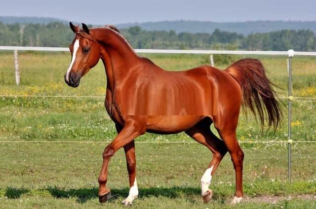 Arabian Horse price 6