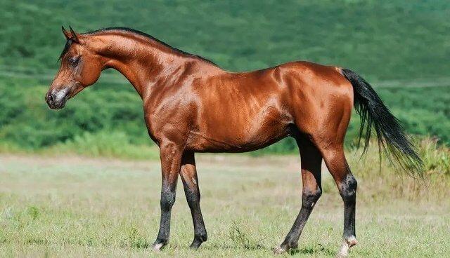 Arabian Horses price 1