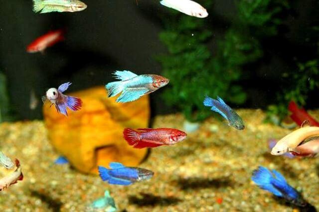 Baby Betta Fish Care 1