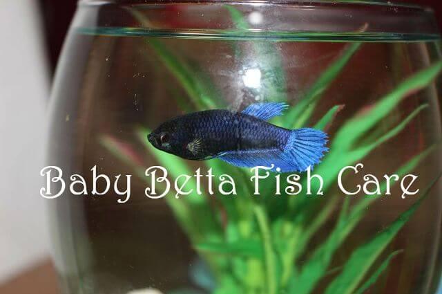 Baby Betta Fish Care 4