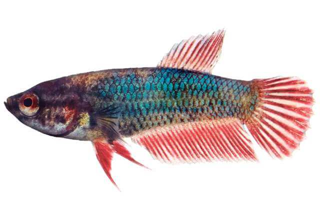 Baby Betta Fish Care 5