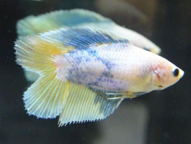 Baby Betta Fish Care 6
