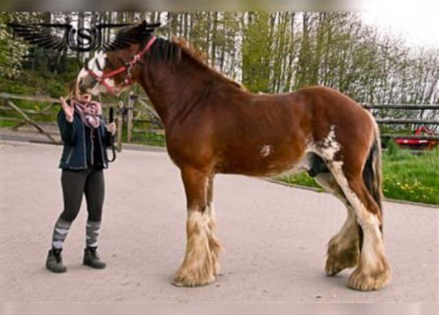 Clydesdale Horse Cost 4