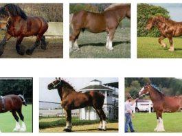 Draft Horse Breed