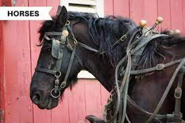 Equipment for Clydesdale Horse