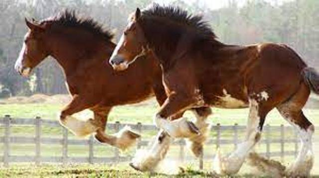 Real Cost of Clydesdale Horse