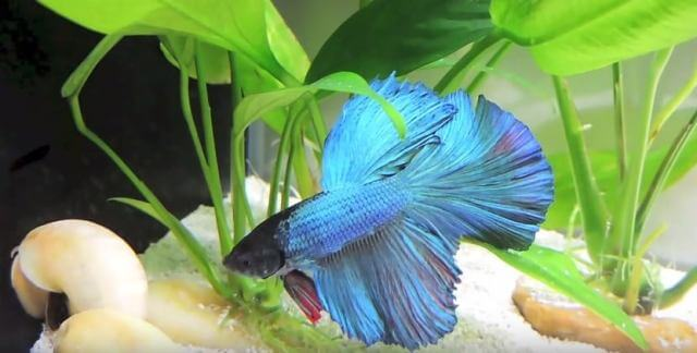 Take Care of Betta Fishes 3