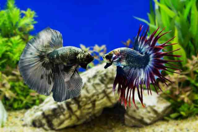 Take Care of Betta Fishes 6