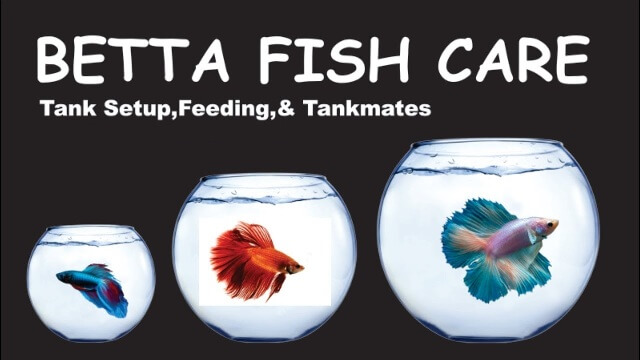 Take Care of Betta Fishes