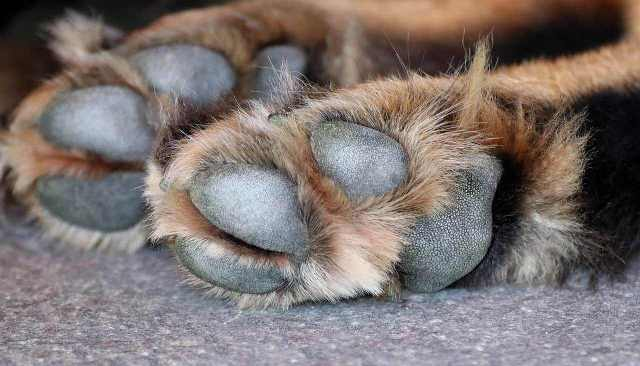 care for my dog paws