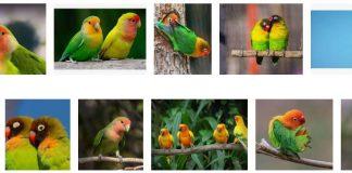 types of lovebirds 3