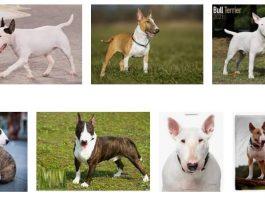 English Bull Terrier Color Coats